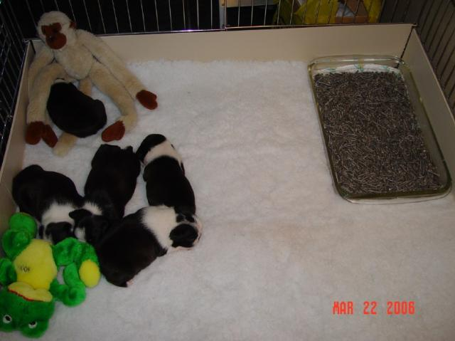in about 10 days the babies will have grown so much that a larger litter box is needed here is how i transition them i move the puppies into a super yard